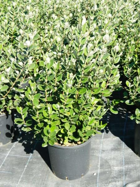 Vivai benini di benini giovanni nursery plants for Pianta feijoa